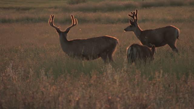 MS, PAN, Herd of Buck mule deer (Odocoileus hemionus) in grass, USA
