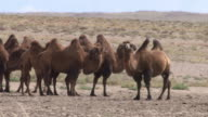 A herd of camels in Outer Mongolia's Gobi desert