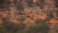 A herd of camels run across the outback of the Northern Territory.
