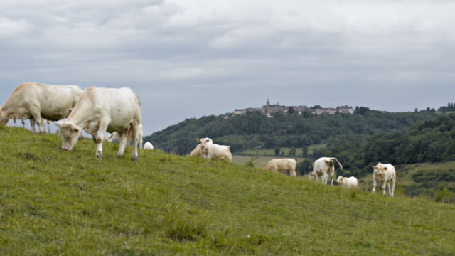 Herd of Charolais cows and calves on pasture land, Burgundy region, France