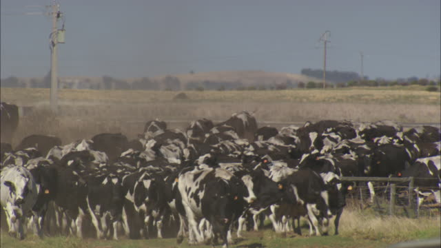 A herd of cows are moved from a field.