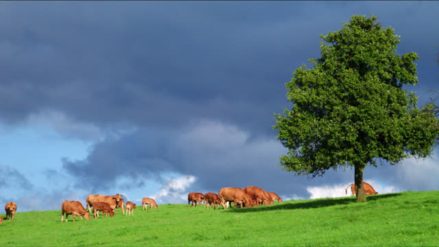 A herd of cows grazes in a meadow.