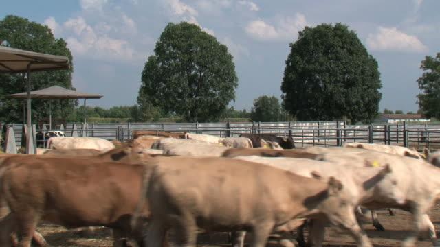 Herd of cows in the paddock