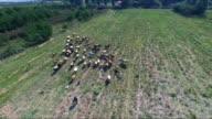 Herd of cows on biodynamic farm