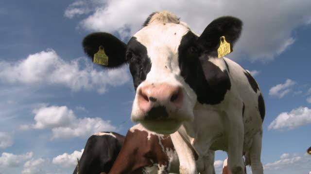 MS Herd of cows on field / Kirf, Saargau, Rhineland-Palatinate, Germany