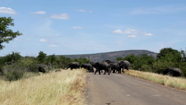 Herd of elephant crossing a road, Kruger National Park, South Africa