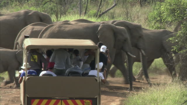 WS ZO PAN Herd of elephant crossing road in front of tourists on game vehicle / Pilanesberg Nature Reserve, North West, South Africa