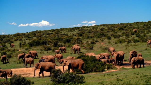 WS PAN Herd of elephants (Loxodonta Africana) / Addo Elephant National Park/ South Africa
