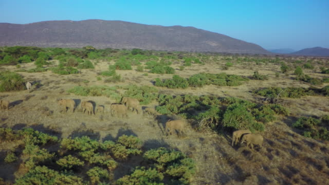 Herd of elephants aerial in the morning light