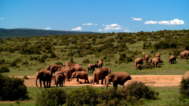 WS Herd of elephants (Loxodonta africana) in savannah / Addo Elephant National Park/ South Africa