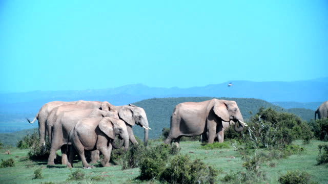 WS Herd of elephants (Loxodonta africana) migrating / Addo Elephant National Park/ South Africa