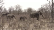 A herd of elephants parades through dry brush and trees. Available in HD.