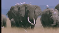 Herd of elephants walk to camera carrying cattle egrets on their backs, Amboseli National Park, Kenya Available in HD.