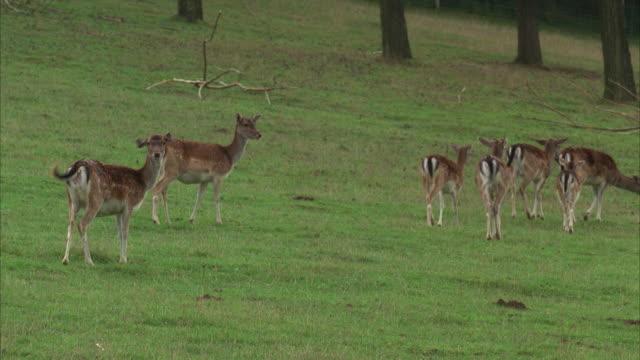 MS, Herd of female fallow deer on field