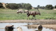 Herd of Gemsbok at watering hole, Kgalagadi Transfrontier Park, South Africa