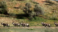 Herd of Gemsbok walking across open grassland, Kgalagadi Transfrontier Park, South Africa