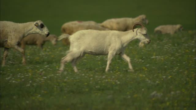 MS PAN Herd of goats and sheep walking through green field, Huitengxile, Inner Mongolia, China