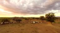 HELI Herd Of Goats In Naimibian Savannah