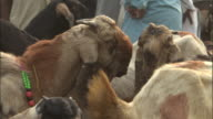 Herd of goats, some decorated with necklaces, Sonepur Mela Available in HD.