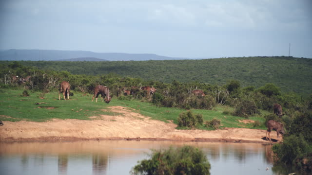WS Herd of greater kudu (Tragelaphus strepsiceros) by river / Addo Elephant National Park, Eastern Cape, South Africa