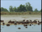 A herd of hippos emerges from a river onto a riverbank.