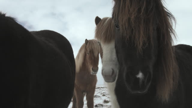 A herd of Icelandic horses stare at the camera.