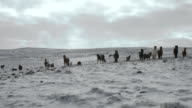 A herd of Icelandic horses wander across a snow covered field.