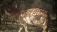 Herd of kudu graze in woodland.