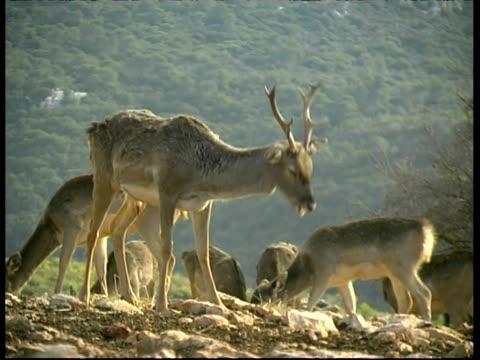 Herd of Mesopotamian Fallow Deer, Dama mesopotamica, grazing, MS, Israel