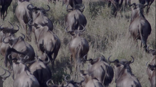 A herd of migrating wildebeests runs through tall grasses on a savanna. Available in HD.