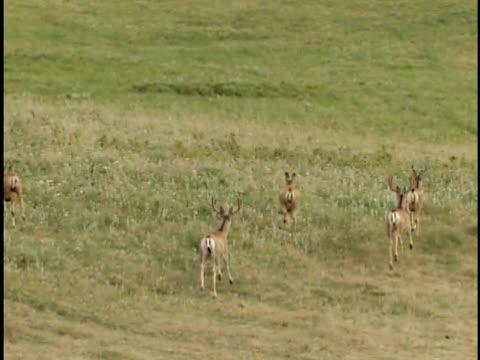 HA, WS, Herd of mule deer (Odocoileus hemionus) on fescue prairie, Alberta, Canada