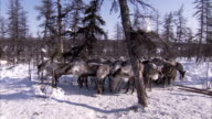 A herd of reindeer in a snowy forest Available in HD