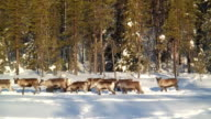 WS PAN Herd of reindeer walking in snow / Jokkmokk, Norrbotten Province, Sweden