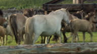 A herd of Sakha horses trot around a field in the village of Sakkyryr.