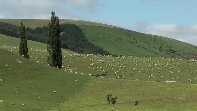 WS Herd of sheep grazing on green hills / Canterbury, New Zealand