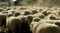 CU ZO Herd of sheep walking on farm in Malmesbury / Western Cape, South Africa