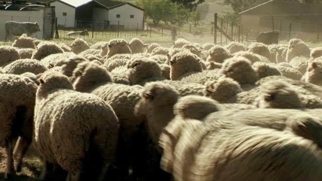 CU ZO Herd of sheep walking on farm in Malmesbury / Western Cape, South Africa