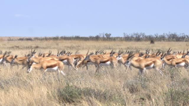 Herd of Sprinbocks