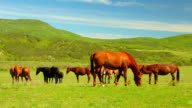 herd of thoroughbred horses in the pasture