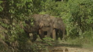 Herd of wild elephants feeding on river bank.