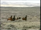 Herd of wild horses gallop on Wyoming winter plains all stop and face camera simultaneously