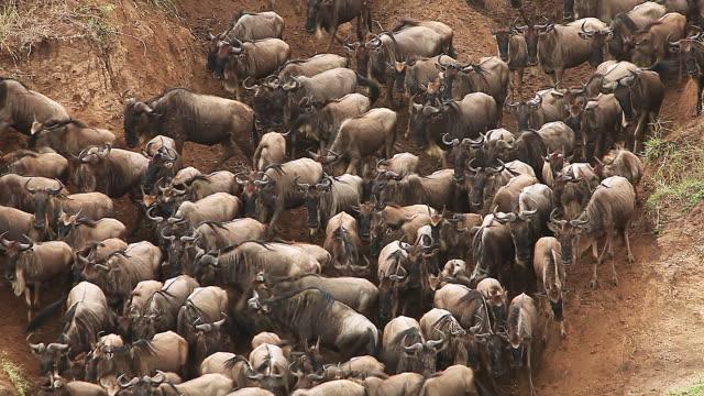 MS Herd of wildebeest going to Mara river / National Park, Africa, Kenya
