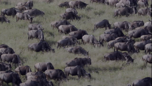 A herd of wildebeest grazes on the grasslands of Masai Mara. Available in HD.