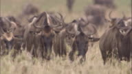 Herd of wildebeest walk towards camera Available in HD.