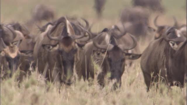 Herd of wildebeest walk towards camera Available in HD.