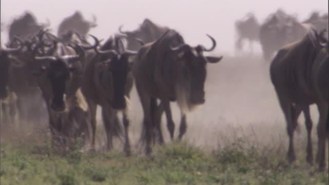 Herd of Wildebeest walks across savanna. Available in HD.