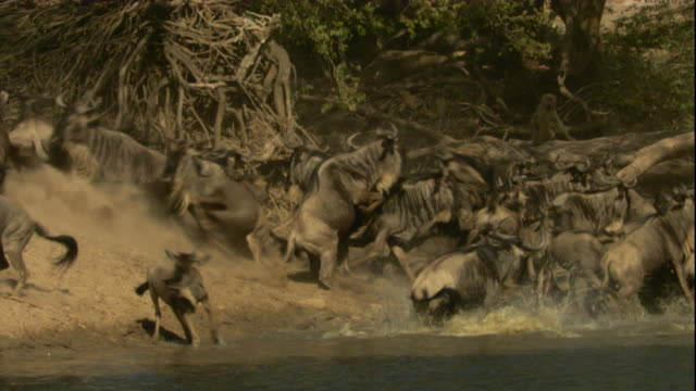 A herd of wildebeests scatter from a watering hole as a Nile crocodile jumps from the water and attacks its prey. Available in HD.