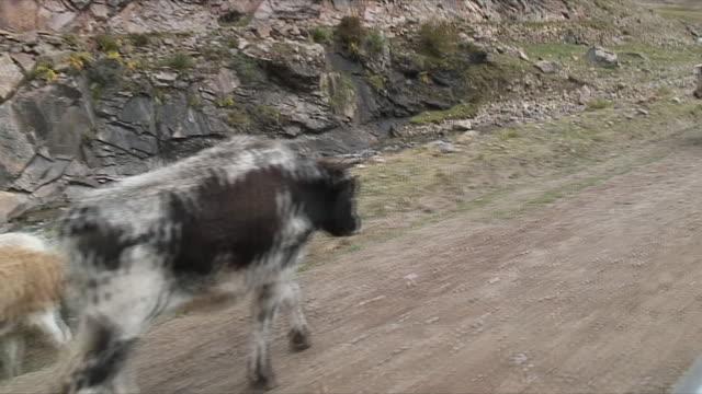 WS POV Herd of yaks along dirt road / Rural, Tibet
