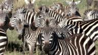 Herd of zebra at Masai Mara game reserve.Kenya