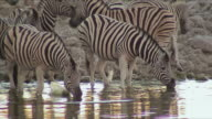 WS Herd of Zebra drinking at waterhole / Etosha National Park, Namibia